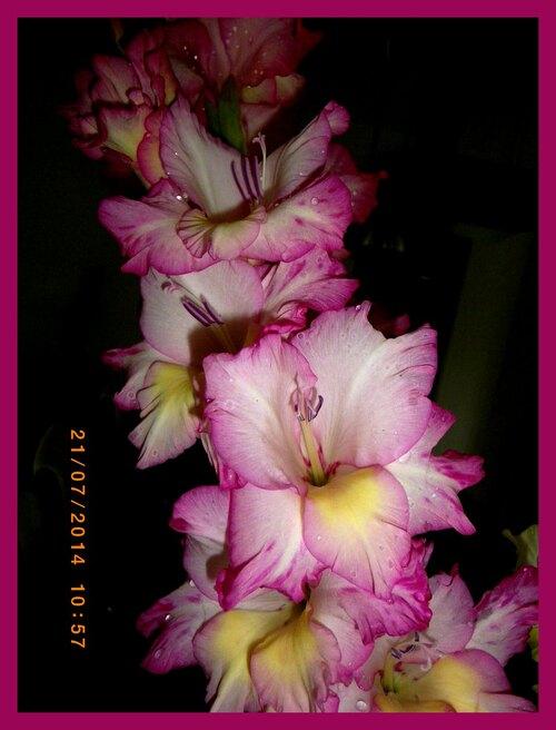 glaieul, fleurs