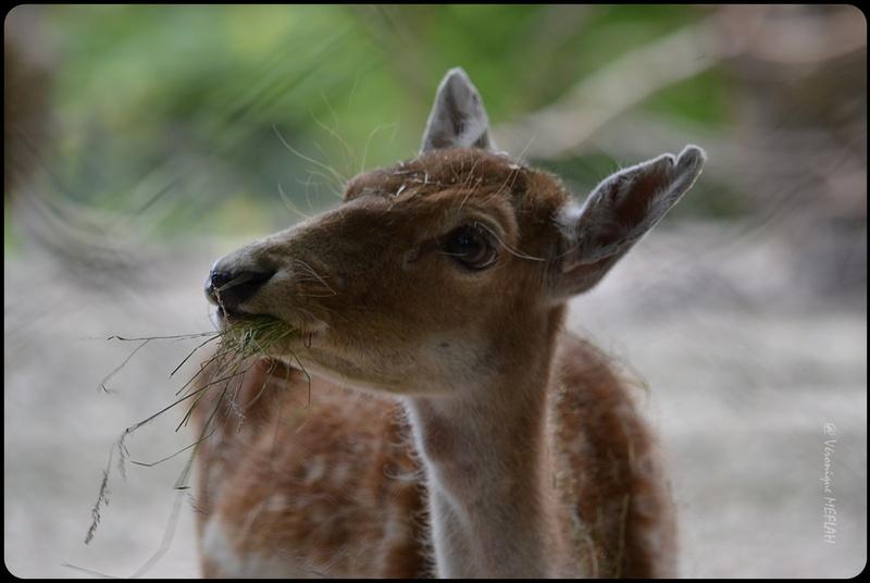 La Ménagerie, Zoo du Jardin des Plantes : Le Daim moucheté (portraits)
