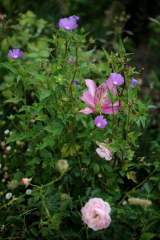 Des compagnes pour mes roses : Anoda cristata 'Opal Cup'