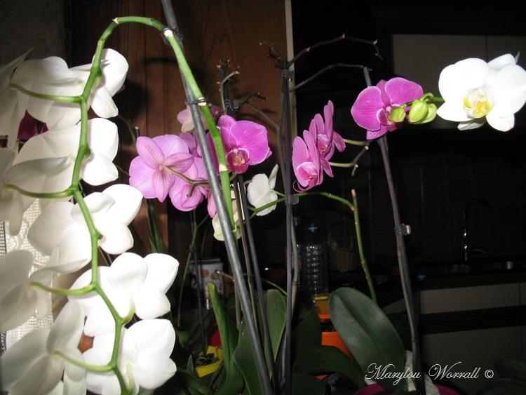 Orchidées au bain