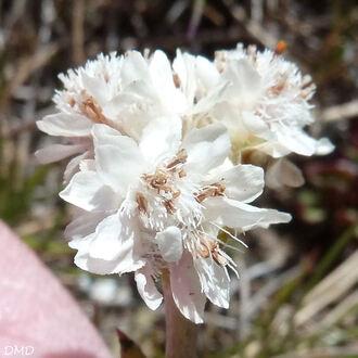 Antennaria dioica - antennaire dioïque - pied de chat
