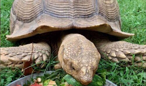 La tortue s'évade, mais ne va pas bien loin