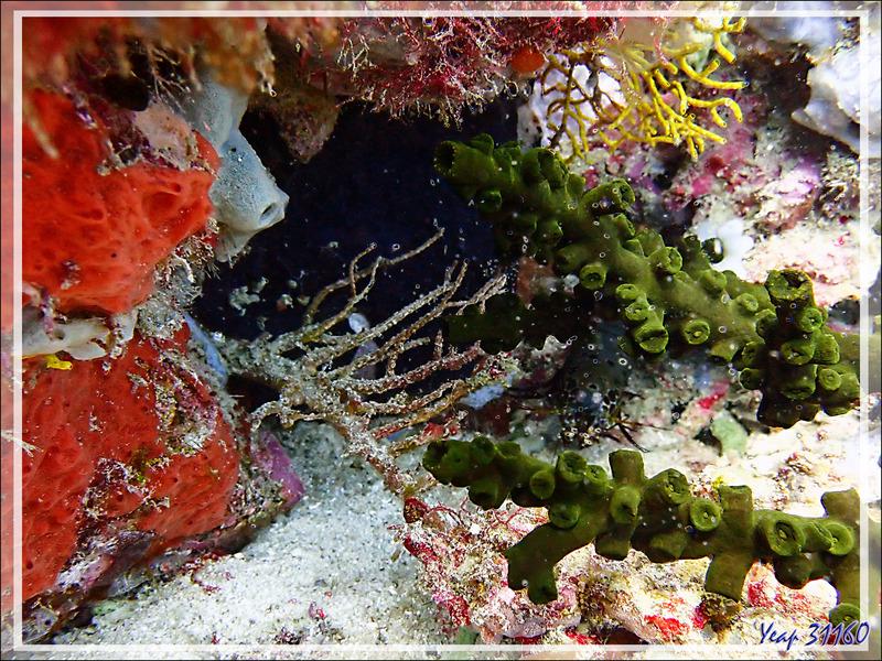 Cachée derrière le corail Tubastrée arborescente (Tubastrea micrantha) : Squille à maxillipèdes bleus, Bluespot mantis (Haptosquilla stoliura) - Tétons - Nosy Tsarabanjina - Nosy Mitsio - Madagascar