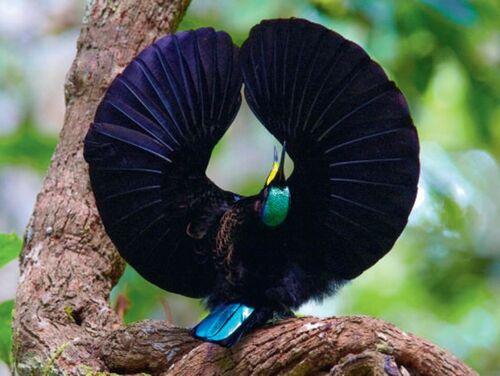 Un plumage d'un noir intense