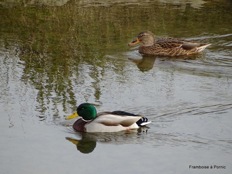 Couple canards colvert
