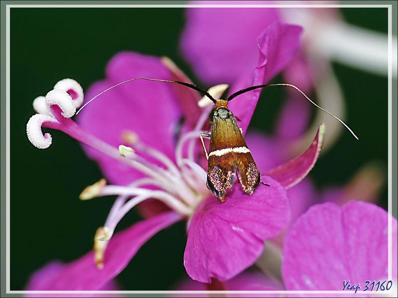 Micro-papillon Adèle femelle (Adela australis) environ 7 mm de long (les sépales des fleurs d'épilobes font 11 mm) - Lartigau - Milhas - 31