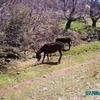 amazigh - les ânes