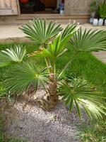 Trachycarpus wagnerianus - années 2013 - 2014