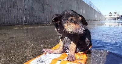 L'histoire déchirante d'un petit chien californien