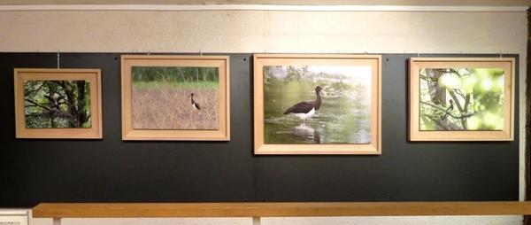 Une superbe exposition de photographies sur la cigogne noire a eu  lieu à la Maison de la Forêt