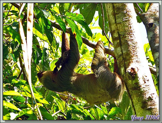 Blog de images-du-pays-des-ours : Images du Pays des Ours (et d'ailleurs ...), Unau, Paresseux à deux doigts (Choloepus didactylus) - Manuel Antonio - Quepos - Costa Rica