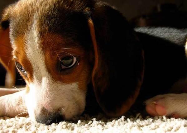 Races de chiens:  Beagle