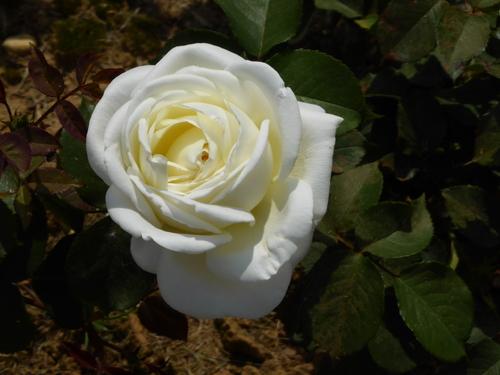 APOLLINE ET LES ROSES
