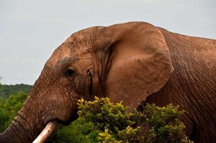 Si les éléphants ont un plus gros cerveau, c'est bien à cause du changement climatique