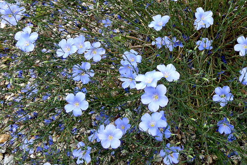Belles petites fleurs bleues