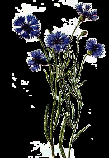Bleuets