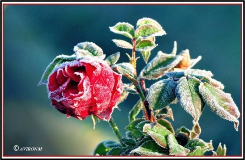 2014-12 Roses-givrées C13
