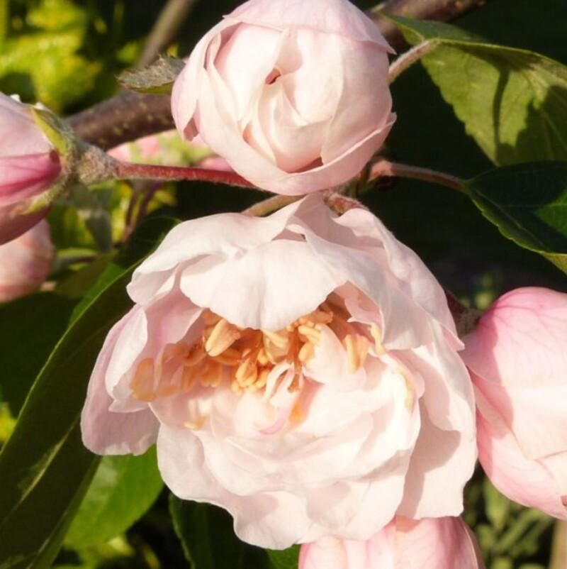 malus charlottae - une fleur comme un jupon - mai 2014