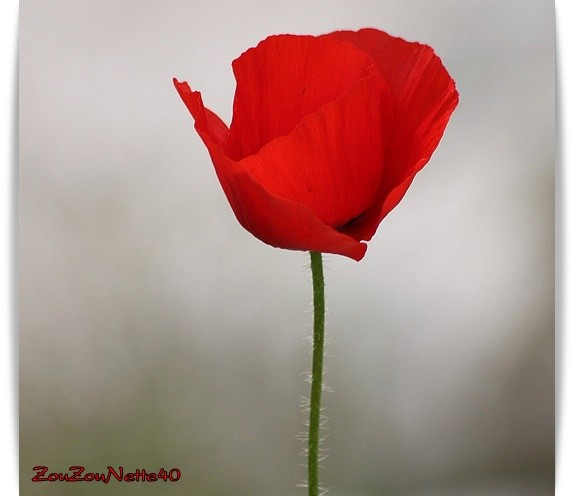 COQUELICOT-N--1-.jpg