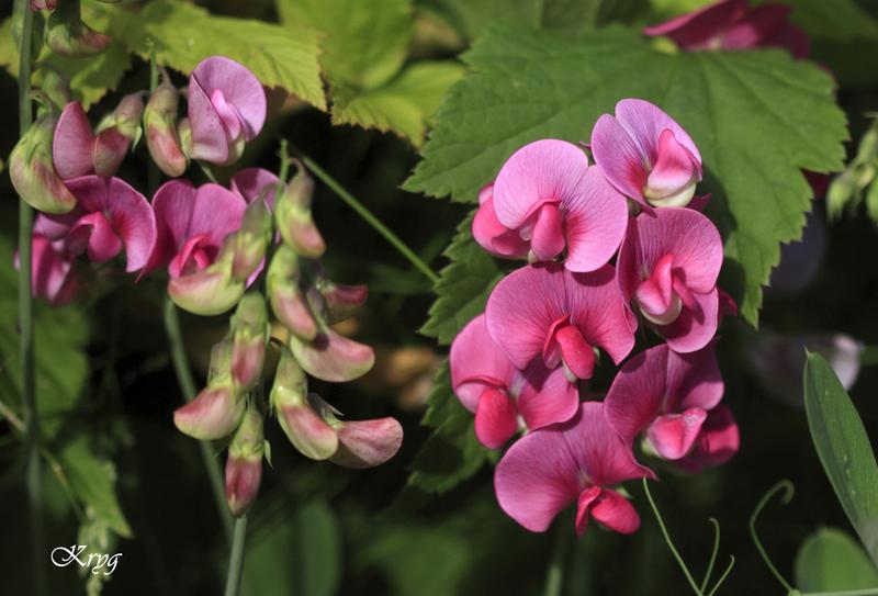 Fleurs: les pois de senteur..