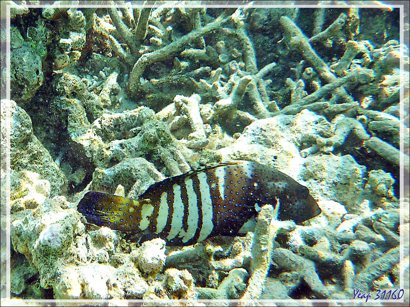 Mérou paon ou céleste, Vieille cuisinière, Bluespotted grouper (Cephalopholis argus) - Moofushi - Atoll d'Ari - Maldives