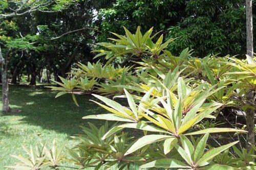 Benjoin plante entière