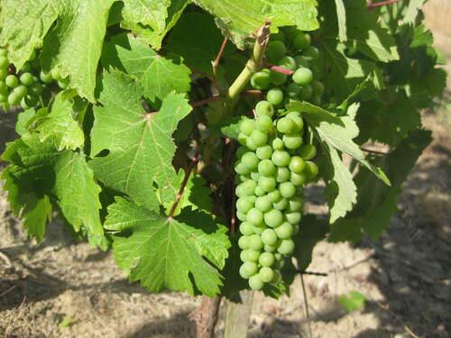 Défi n° 264 : la vigne ou du raisin