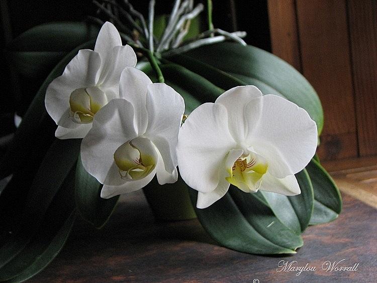 Ma vieille orchidée blanche