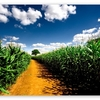 country_road_between_corn_fields-t2
