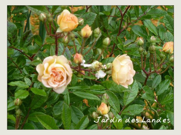 Le mois de juin au jardin - suite...
