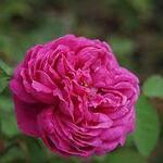 rosiers du jardin