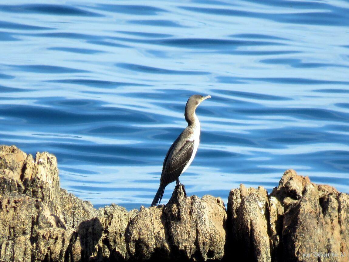 des cormorans et ...