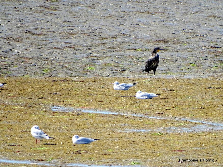 Oiseaux du Marais Mullembourg à Noirmoutier 2019