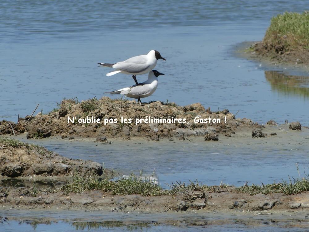 Tournez manège ! chez les mouettes rieuses, au Parc du Teich...