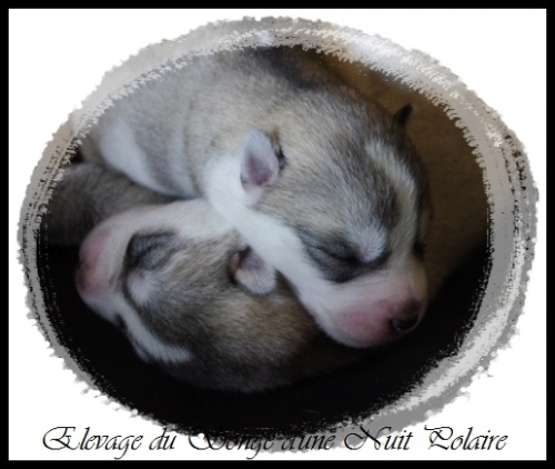 Elevage Husky Chiots (6 jours)