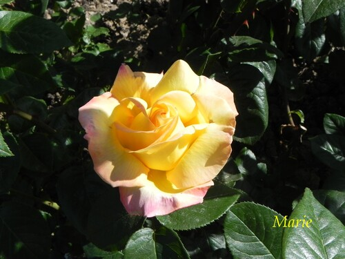 Mes Fleurs Jaunes