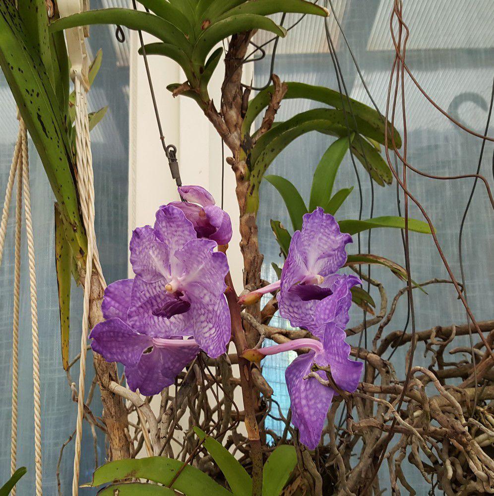 Mes orchidées vandas - novembre 2020...