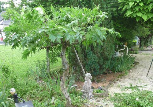 Juin :  taille en vert de la glycine