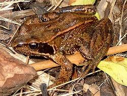 Rana-temporaria--Wikipedia-29-9-10.jpg