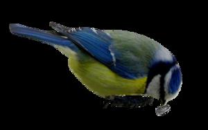 Mésanges bleues