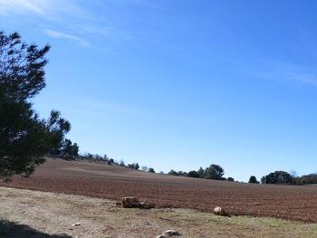 Le champ de lavande juste après la plantation