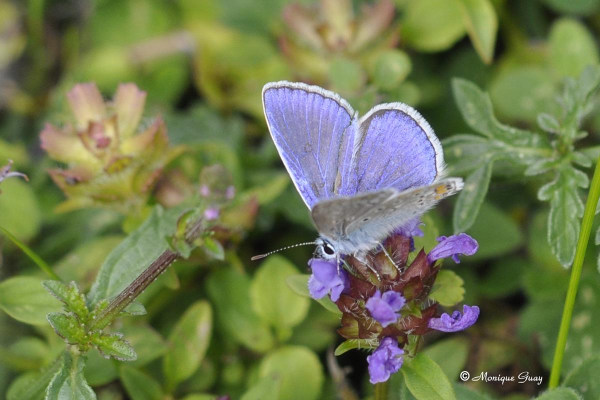 Papillon Azuré commun