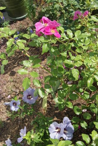 Hibiscus syriacus ' Ultramarine ' et rose ' Xaros '