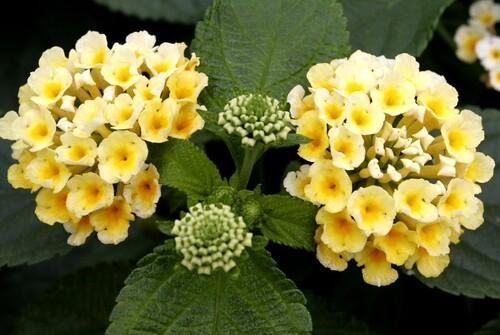 Fleurs cultivées : Lantana