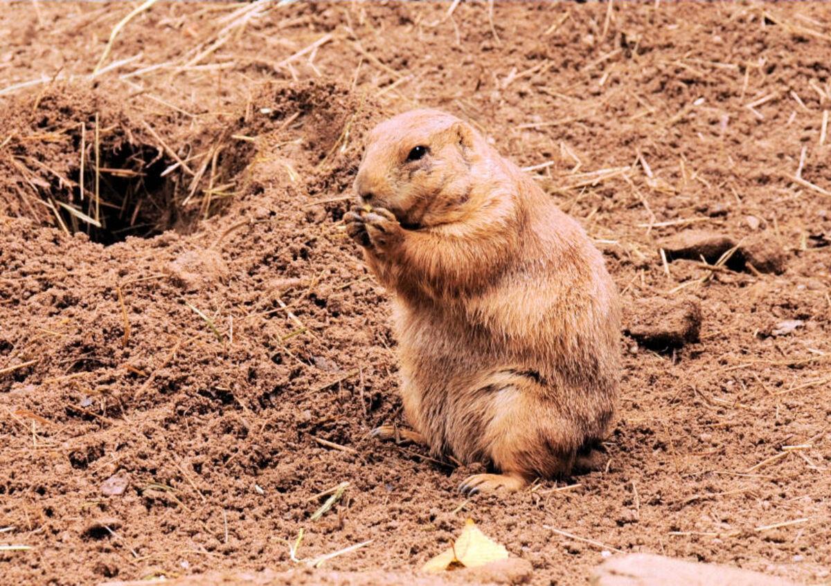Chien de prairie au zoo d'Amnéville