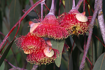 L'eucalyptus caesia ...
