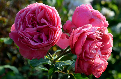 Rosée, roses et bonheur du matin. Dewy roses.