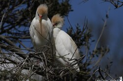 Héron garde-boeufs en plumage nuptial