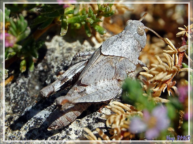 Le jeune criquet Oedipode et la fourmi - La Couarde-sur-Mer - Ile de Ré - 17