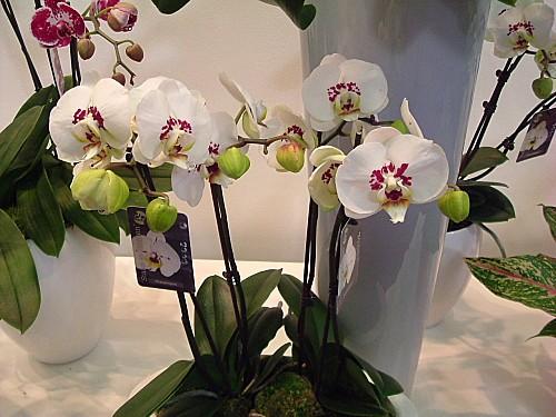 Orchidées 035